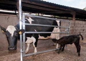 calving hurdle in action