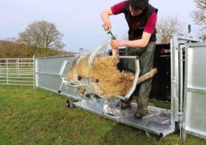 sheepvet demonstration